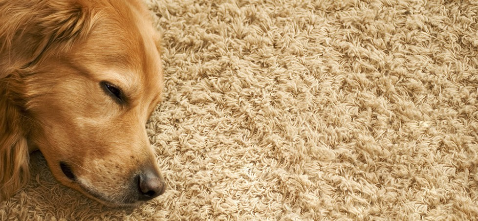 Maple Carpet Cleaning